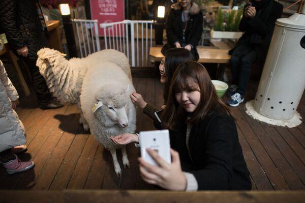 Una donna scatta un selfie con una pecora in un bar delle pecore a Seoul, Corea del Sud. - Sputnik Italia