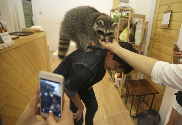 I visitatori giocano com una procione al Little Zoo Café di Bangkok, Thailandia. - Sputnik Italia