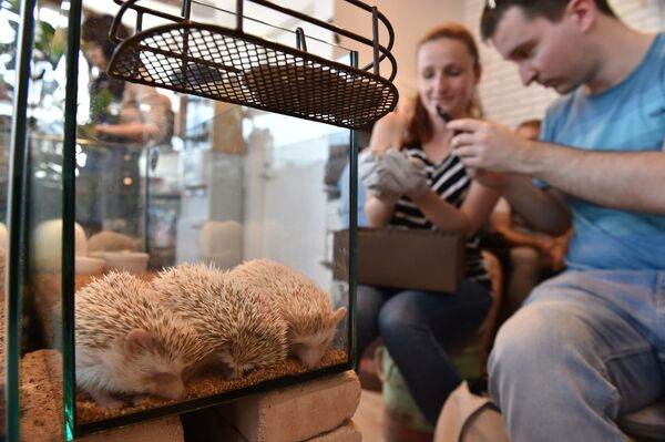 I turisti australiani giocano con i ricci all'Harry Hedgehog Cafe di Tokyo, Giappone. - Sputnik Italia