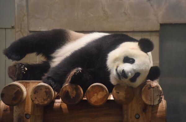 A questo va aggiunto che l'aspettativa di vita media di un panda non supera i venti anni (in cattività massimo 30), che raggiunge la maturità sessuale solo intorno al quarto, sesto anno di vita, che come visto la madre si occupa di un solo cucciolo alla volta, che ogni cucciolo impegna la madre per 18 mesi. - Sputnik Italia