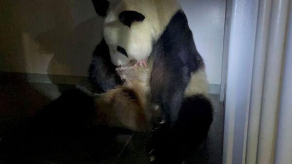 Questa è la prima nascita di un panda in quattro anni nel Paese asiatico. - Sputnik Italia