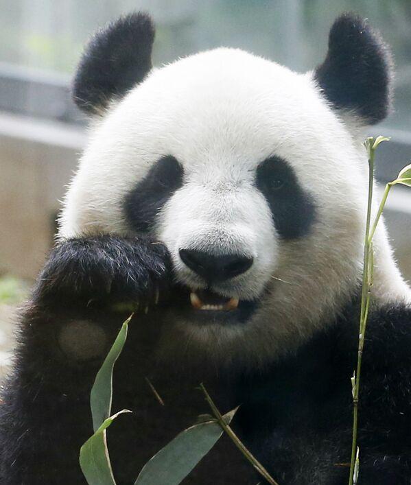 Le autorità del parco hanno approntato un sistema di 'turni' per permettere alla mamma panda di occuparsi di un piccolo alla volta mentre l'altro viene affidato ad una nursery con incubatrice. - Sputnik Italia
