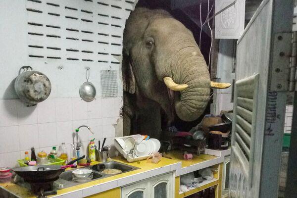 La fotografia scattata il 20 giugno 2021 e ricevuta per gentile concessione di Radchadawan Peungprasopporn mostra un elefante in cerca di cibo nella cucina della sua casa a Pa La-U, Hua Hin. - Sputnik Italia
