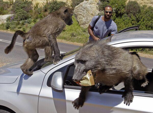 La macchina dei turisti Alexandre Casias e Emilie Vachon da Montreal ha subito l'invasione di alcuni babbuini, a Millers Point, alla periferia di Cape Town, Sud Africa, mercoledì 24 ottobre 2012. - Sputnik Italia