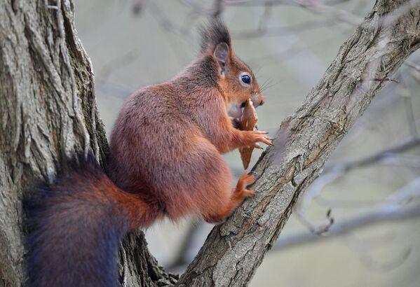 Uno scoiattolo rosso mangia un biscotto in un giardino a Bruxelles il 3 gennaio 2019. - Sputnik Italia
