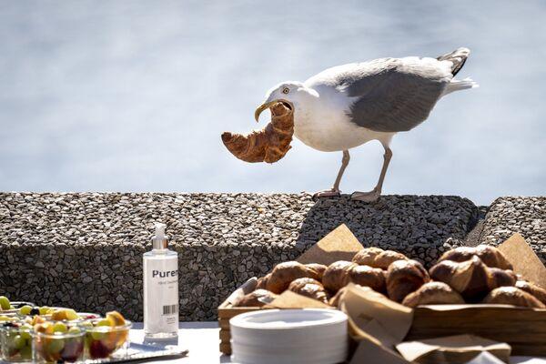 Un gabbiano ruba un croissant dal buffet durante una conferenza stampa presso la sede di A.P. Moeller - Maersk a Copenhagen, Danimarca, il 25 giugno 2020. - Sputnik Italia