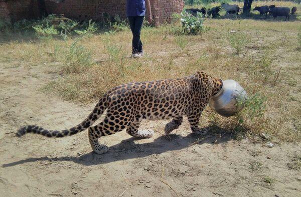 Un leopardo si è incastrato in un vaso nel tentativo di cercare il cibo in un villaggio indiano di Sardul Kheda nel distretto del Rajasthan di Rajsamand il 30 settembre 2015.  L'animale, che è rimasto bloccato per cinque ore, è stato poi liberato dal dipartimento forestale. - Sputnik Italia