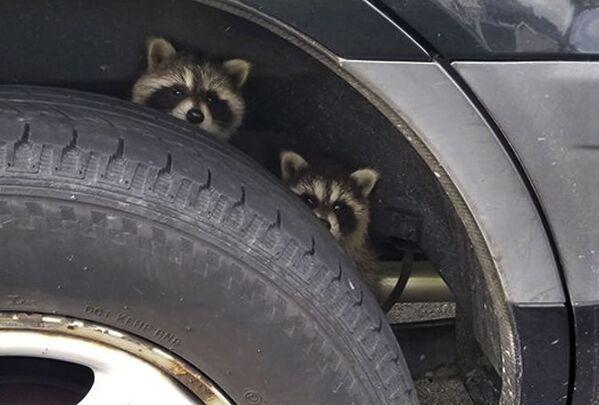 In questa foto di mercoledì 25 luglio 2018 rilasciata dal dipartimento di polizia di Rye, due procioni avvistati dagli agenti di polizia si nascondono dietro la gomma di un veicolo nel parcheggio di un motel a Rye, N.H.  - Sputnik Italia
