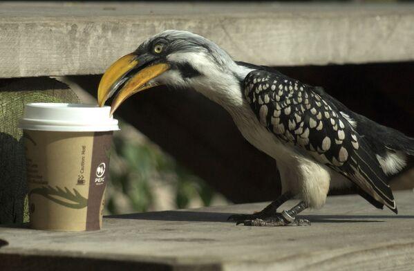 Un curioso bucero beccogiallo ispeziona la tazza di caffè di un visitatore nella sezione della foresta pluviale dell'edificio Haus Des Meeres a Vienna, Austria, il 9 giugno 2015.  - Sputnik Italia