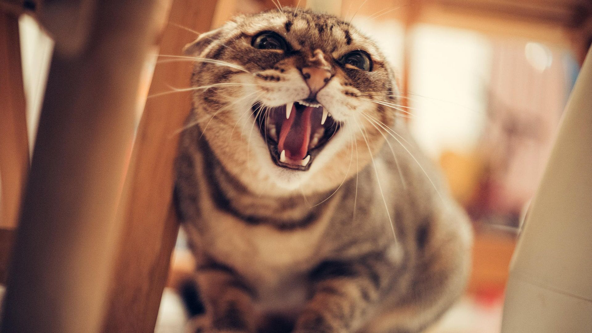 gatto arrabbiato - Sputnik Italia, 1920, 29.06.2021