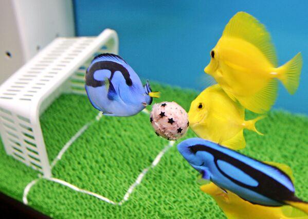 Pesce chirurgo giallo e pesce chirurgo blu catturano mangime a forma di palla e sembrano giocare a calcio nell'acquario Hakkeijima Sea Paradise a Yokohama, periferia di Tokyo, 18 maggio 2006.  - Sputnik Italia
