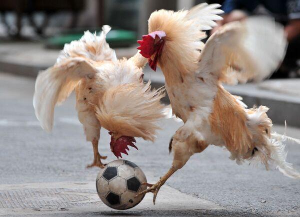 Due galli combattono per una palla durante uno spettacolo  di calcio di galli a Shenyang, nella provincia di Liaoning nella Cina nordorientale, 8 luglio 2010. - Sputnik Italia