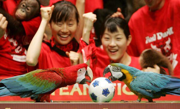 Due pappagalli, Darae di 10 anni, a destra, e Arong di 3 anni, a sinistra, beccano un pallone da calcio mentre i dipendenti dello zoo guardano questa partita impovvizzata, Yongin, a sud di Seoul,  7 giugno 2006.  - Sputnik Italia