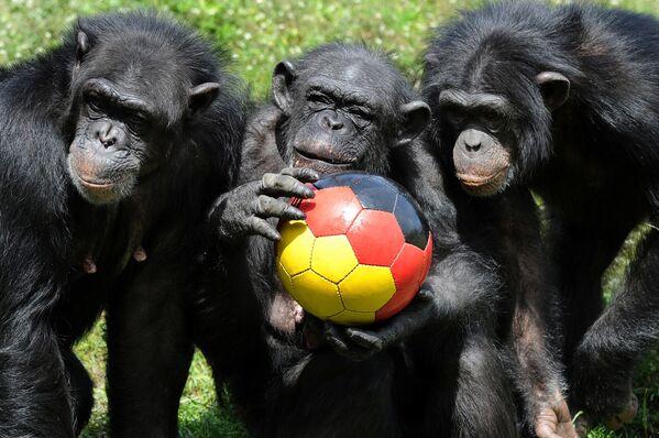 Scimpanzé giocano con un pallone da calcio con i colori della bandiera nazionale tedesca al Serengeti-Park nel nord della città tedesca di Hodenhagen, 1 giugno 2010.  - Sputnik Italia
