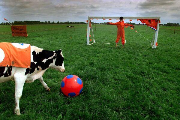 Una muccha vestita con i colori dell'Olanda gioca a calcio con un agricoltore in un campo lungo l'autostrada A2 vicino alla città olandese di Baambrugge.  - Sputnik Italia