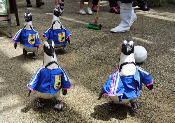 Pinguini con maglie di calcio della squadra nazionale giapponese passeggiano per Matsue vogel park, il giardino di fiori e uccelli a Matsue, nella prefettura di Shimane, Giappone occidentale, 13 giugno 2014.  - Sputnik Italia