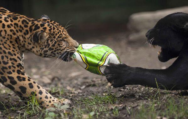 Un giaguaro e una pantera nera giocano con un pallone da calcio allo zoo di Santa Fe a Medellin, dipartimento di Antioquia, Colombia, 12 giugno 2014. - Sputnik Italia