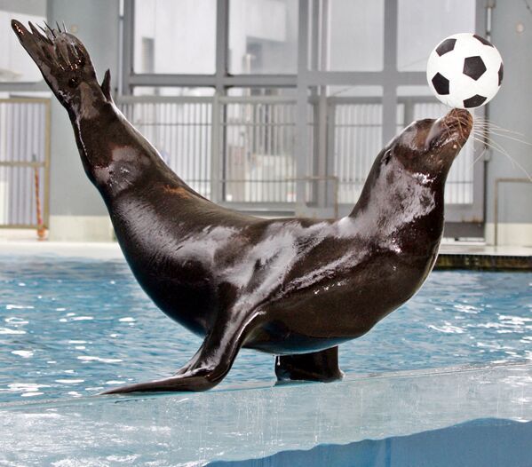 Un leone marino della California si esibisce davanti al pubblico con un pallone da calcio sul suo naso durante uno spettacolo all'Hakkeijima Sea Paradise Aquarium di Yokohama, Tokyo, 9 giugno 2006.  - Sputnik Italia