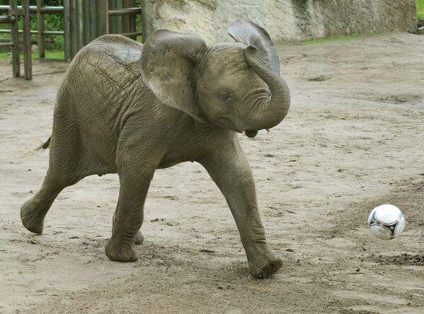 L'elefante del nome Nelly gioca con la palla al Serengeti-Park nella città di Hodenhagen, nel nord della Germania, il 25 giugno 2012 .  - Sputnik Italia