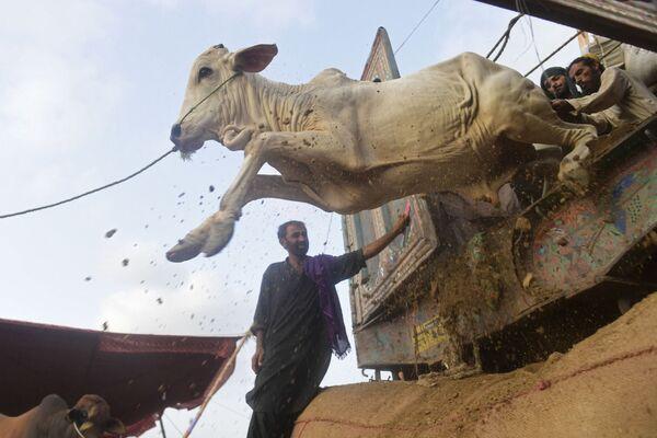 I commercianti scaricano il bestiame da un camion in un mercato del bestiame creato per la festa musulmana di Eid al-Adha a Karachi, Pakistan, 6 luglio 2021 - Sputnik Italia