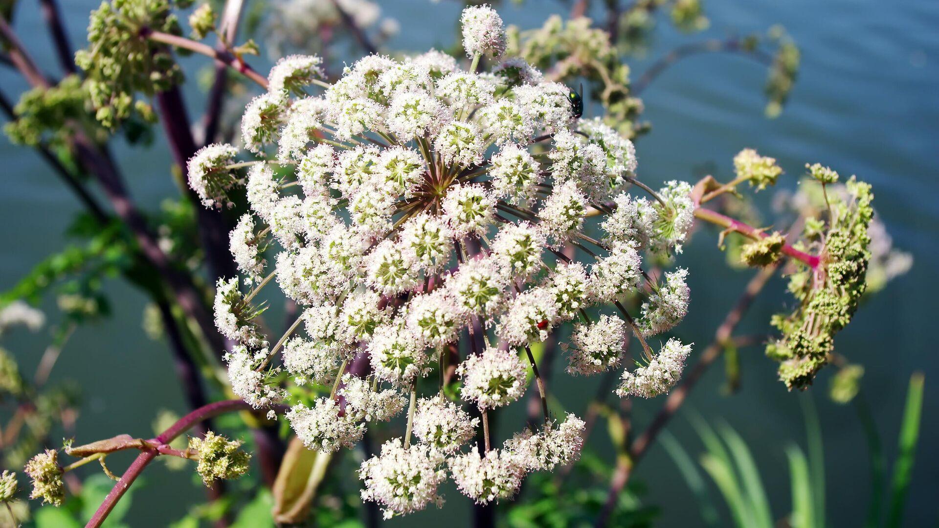 Panace di Mantegazza (nome scientifico Heracleum mantegazzianum), pianta ustionante - Sputnik Italia, 1920, 12.07.2021