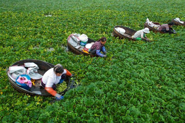 Gli agricoltori raccolgono castagne d'acqua a Taizhou, nella provincia orientale di Jiangsu, il 12 luglio 2021. - Sputnik Italia