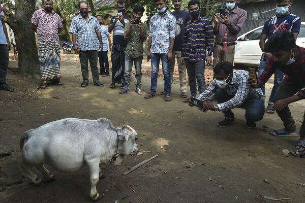 La gente scatta le foto della mucca nana Rani. - Sputnik Italia