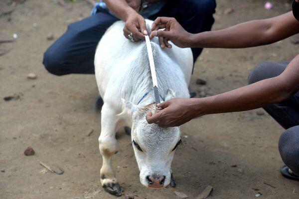 Le persone misurano la mucca nana. - Sputnik Italia