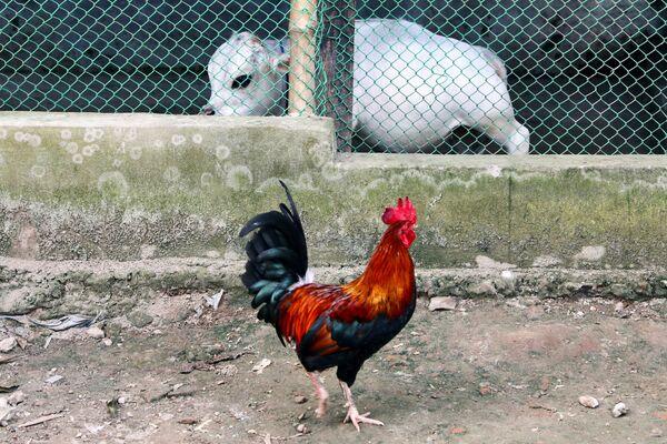 Un gallo passa vicino alla mucca nana Rani in una fattoria. - Sputnik Italia
