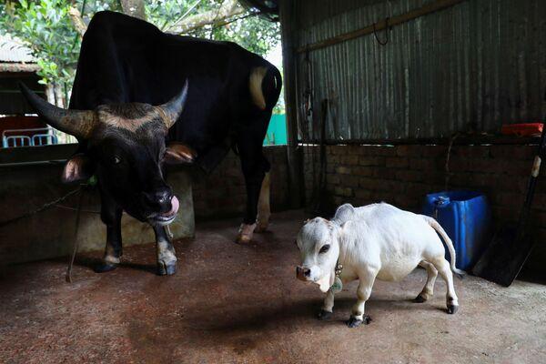 Rani ha difficoltà a camminare e ha paura delle altre mucche della fattoria. - Sputnik Italia