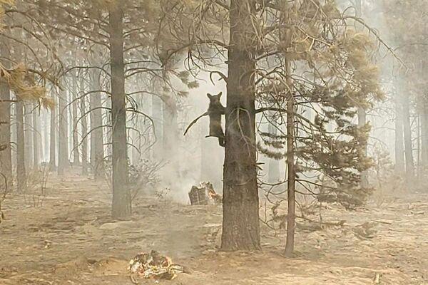 Un cucciolo di orso si aggrappa a un albero dopo essere stato avvistato da un addetto alla sicurezza al Bootleg Fire nel sud dell'Oregon negli Usa. - Sputnik Italia