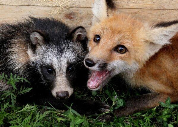 Una volpe di tre mesi Robin e un cucciolo di cane allo zoo privato, Russia. - Sputnik Italia