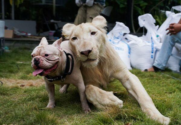 Un leone confiscato posa con un cane in Cambogia. - Sputnik Italia