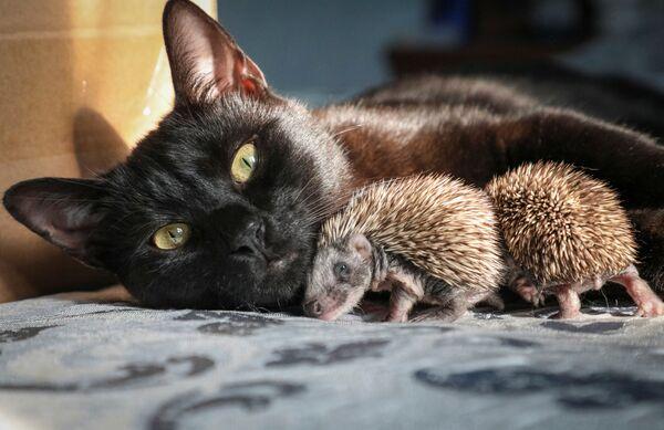 I ricci con un gatto nella casa del suo proprietario Ksenia Krasilnikova in un villaggio a Crimea. Krasilnikova ha trovato sette cuccioli di riccio abbandonati. - Sputnik Italia