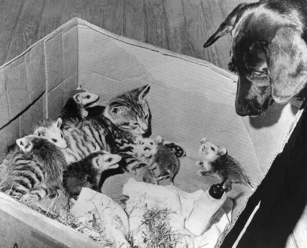 Un gatto ha stretto amicizia con sei giovani opossum orfani a Roma, 22 giugno 1966. - Sputnik Italia