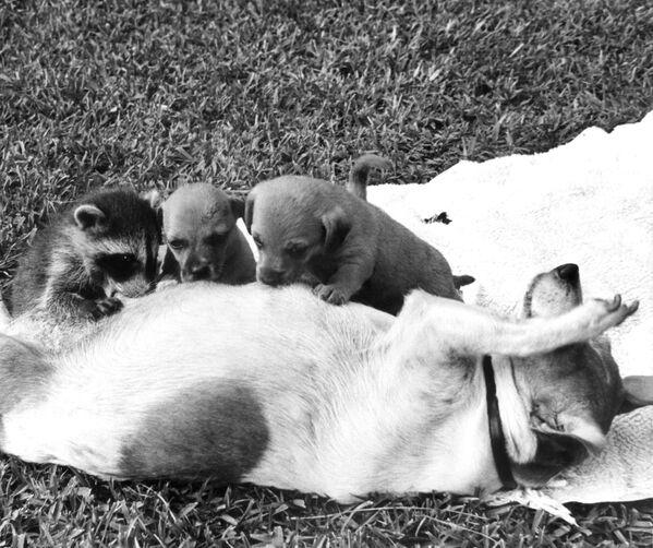 Quando uno dei suoi cuccioli è morto, sono apparsi alcuni posti vacanti nella linea di alimentazione di Susie, un terrier, quindi ha accolto un giovane procione come uno della suo cucciolo, 1 luglio 1967.  - Sputnik Italia