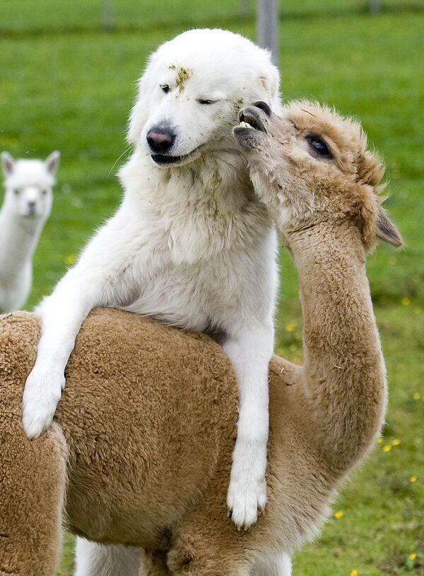 Un cane gioca con un'alpaca di nome Cindy nella provincia austriaca di Salisburgo. Entrambi gli animali vivono insieme nella fattoria da quando avevano 3 mesi.  - Sputnik Italia