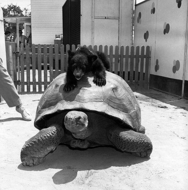 Un orsetto, su una tartaruga, a Jungleland, uno zoo di animali a Thousand Oaks, in California, 16 luglio 1962. - Sputnik Italia