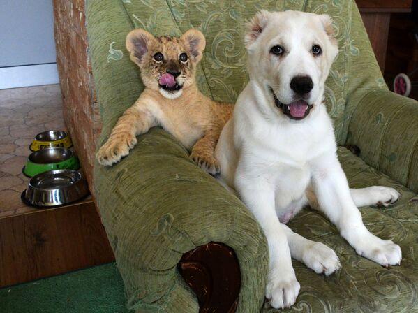 Una leonessa di due mesi è diventata una nuova abitante dello zoo a Vladivostok, Russia. Per la leonessa, lo zoo ha acquisito un cucciolo del cane in modo che crescano e giochino insieme.  - Sputnik Italia