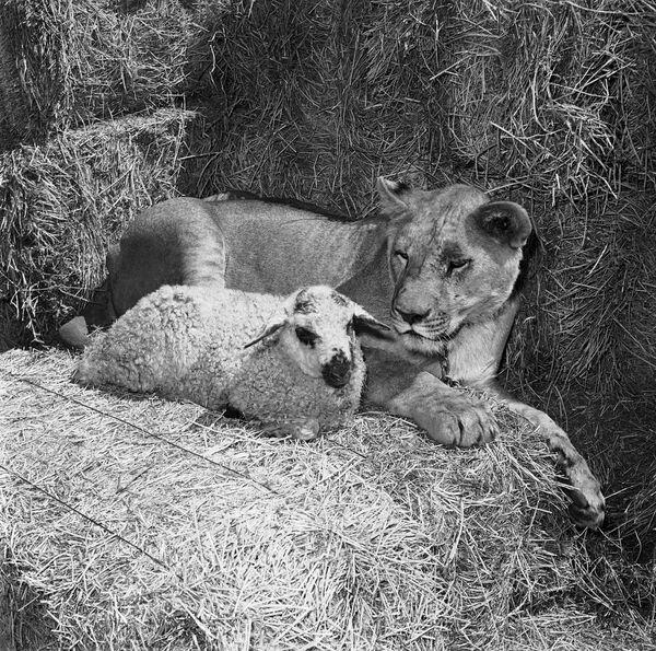 Un agnello e un leone riposano insieme. - Sputnik Italia