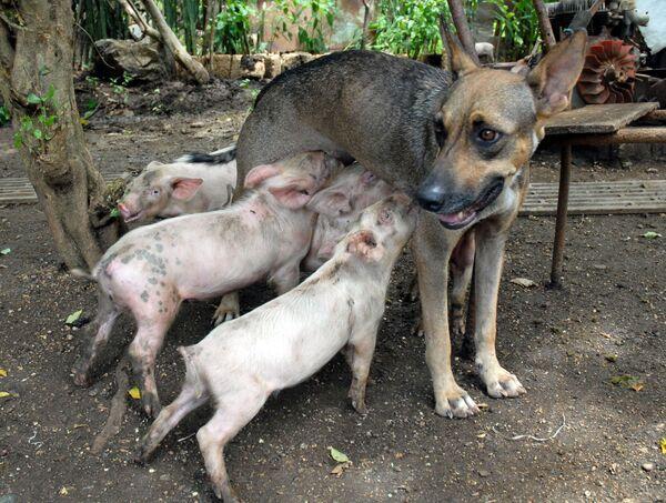 Un cane femmina dà da mangiare a quattro maialini, Cuba.  - Sputnik Italia