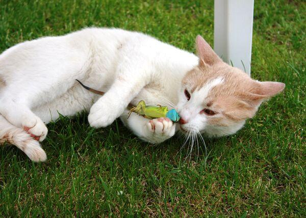 Gatto bianco gioca con una lucertola verde. - Sputnik Italia