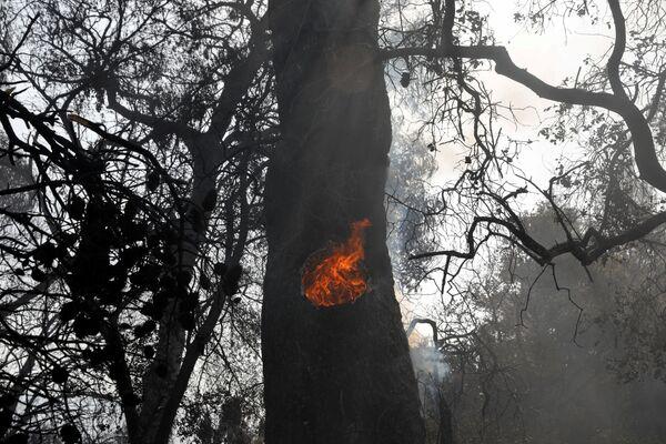 Un albero brucia in seguito agli incendi a Patrasso, in Grecia, 1 agosto 2021. - Sputnik Italia