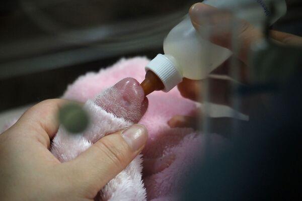 La notizia è stata data dalle autorità dello zoo in un comunicato stampa. I dipendenti dello zoo hanno reso noto che i cuccioli sono nati sani e pesano rispettivamente 149 e 129 grammi. - Sputnik Italia
