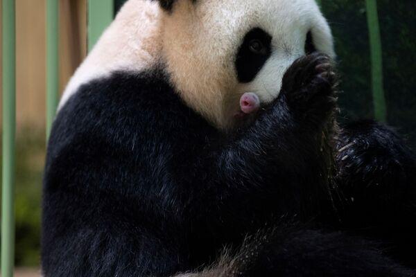 Huan Huan, un panda gigante dello zoo di Beauval, nella Francia centrale, ha partorito nel corso della notte due cuccioli gemelli.  - Sputnik Italia