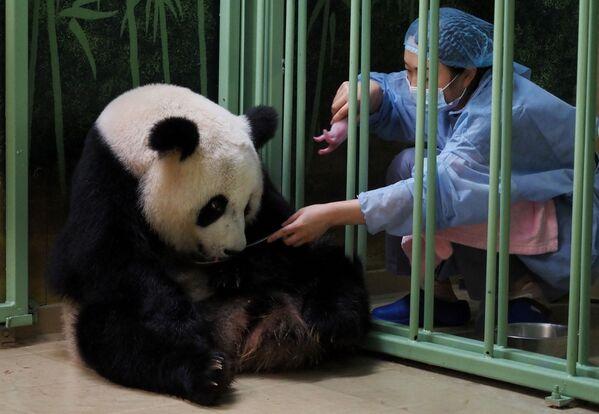 """Il panda Huan Huan, il nome di cui si traduce come """"felice"""" dal cinese, è nata in Cina e poi è arrivata in Francia all'età di tre anni insieme al suo compagno Yuan Zi.  - Sputnik Italia"""