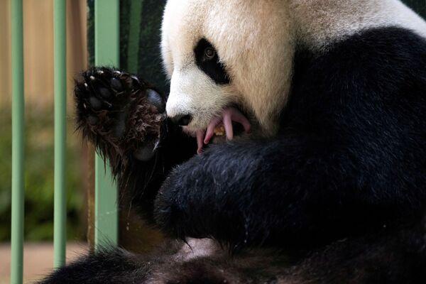 I dipendenti dello zoo comunicano che Huan Huan dimostra un atteggiamento molto materno, lecca i suoi cuccioli e li tiene stretti a sé. - Sputnik Italia