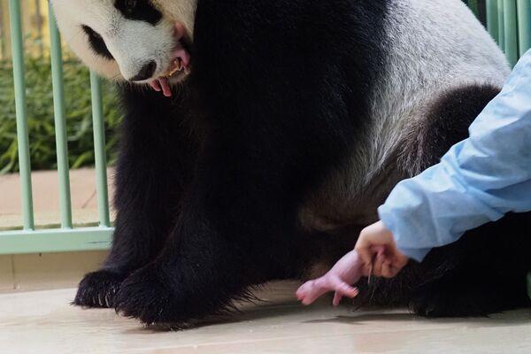 Secondo gli esperti, i primi deici giorni sono un periodo molto delicato per i neonati, ma i cuccioli di Huan Huan si trovano in buone condizioni di salute.  - Sputnik Italia