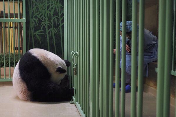 Per motivi precauzionali Huan Huan è stata sottoposta all'inseminazione artificiale siccome le femmine di panda sono fertili solo da 24 a 48 ore all'anno. - Sputnik Italia