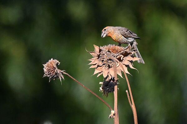 Un uccello cerca di mangiare un seme da un fiore essiccato in California, nella Central Valley colpita dalla siccità, il 23 luglio 2021. - Sputnik Italia